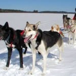 Chilly Dogs Dogsled