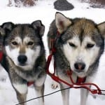 White Wolf Sled Dogs
